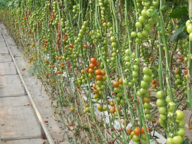 Turkey - 14 Ha - Tomato