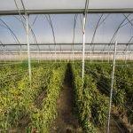 (Castellano) España - 1.7 Ha - Tomate